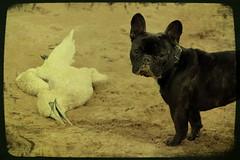 ....y la muerte (fertraban) Tags: dog bird beach death gijn playa bulldog muerte perro ave frenchie sanlorenzo pepa xixn bulldogfrancs ttv ltytr1