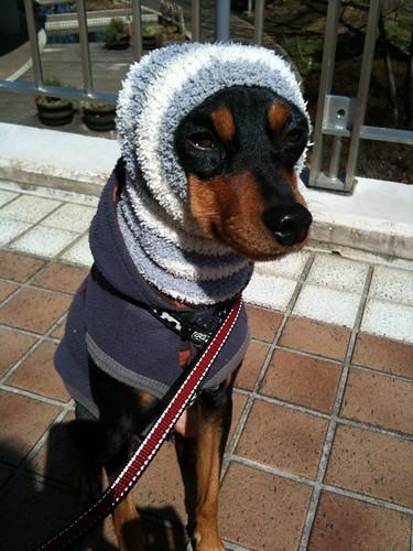 散歩なう。今日はまたいちだんと寒い。ほっかむりな黒犬。
