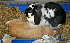 She's not dead - honest! (Niseag) Tags: sleeping rabbit bunny bunnies jura rabbits littertray dwarflop lops