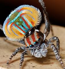 _MG_4150 peacock spider Maratus volans (Jurgen Otto) Tags: wildlife arachnid australia jumpingspider invertebrate volans salticidae peacockspider maratus macrolife