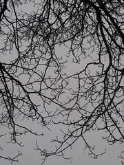 shooting up, jordaan (venetia 27) Tags: sky amsterdam garden grey branches twigs jordaan