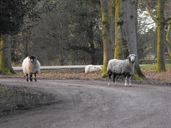 Sheep (william.henderson) Tags: forest sheep dean hart baa cyril forestofdean cyrilhart