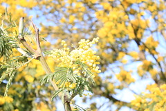Mimosa 2 (claudio.santucci) Tags: