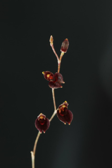Pleurothallis segrigatifolia