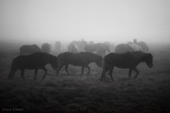 Moody Winter Day.... (Ggja Einars..) Tags: family winter horses horse fall nature beautiful animals fog canon dark iceland soft day moody cloudy spirit gorgeous foggy rainy magical herd equine mane icelandic foals icelandichorse hestur icelandichorses 50d hesturinn ggja einarsdottir gigjaeinarsdottir