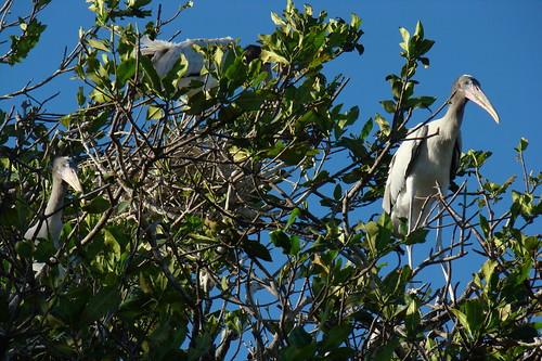 Wood Stork nestlings