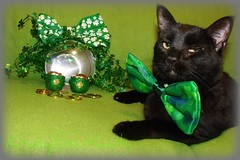 Oh Mom... A Bow Tie... I suppose (KrazyBoutCats) Tags: cats pets animals felines stpatricksday blackcats