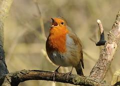 "Singing Robin (Featured in Explore) (gillybooze (David)) Tags: bird robin explore soe thegalaxy natureselegantshots thewonderfulworldofbirds ""flickraward"" doubleniceshot naturesgreenpeace mygearandme esenciadelanaturaleza rememberthatmomentlevel4 rememberthatmomentlevel1 rememberthatmomentlevel2 rememberthatmomentlevel3 rememberthatmomentlevel7 rememberthatmomentlevel9 rememberthatmomentlevel5 rememberthatmomentlevel6 rememberthatmomentlevel10"