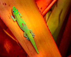 Gold Dust Day Gecko (Phelsuma laticauda laticauda) (HawaiianVirtualTours) Tags: hawaii lizard gecko 1001nights nationalgeographic kailuakona bigislandofhawaii golddustdaygecko anawesomeshot colorphotoaward phelsumalaticaudalaticauda tokina100mmf28atxprod paololivornosfriends flickraward nikond7000 mygearandme mygearandmepremium mygearandmebronze hawaiianvirtualtours geckobox
