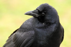 American Crow Closeup (Mr.TinDC) Tags: bird birds animals washingtondc dc wildlife dcist crow crows corvusbrachyrhynchos americancrow constitutiongardens