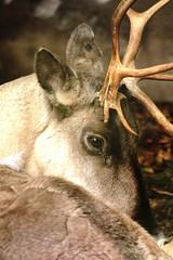 European Forest Reindeer (Rangifer tarandus fennicus) (macca_1985) Tags: zoo sweden sverige chrismclean nordensark canon70300f456 nordens canoneos550d