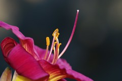 Stamens (Flick Vlooi) Tags: pink flower macro day lily pentax stamens pollen k5 smcpentaxdfa100mmf28wr