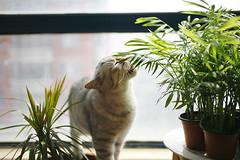 这好吃吗? (heart_less_man) Tags: family pet cute home animal cat kitten chat gina hdr