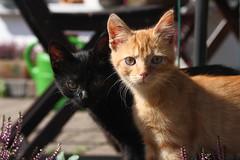 IMG_5464 (leisergu) Tags: cats cat katze katzen
