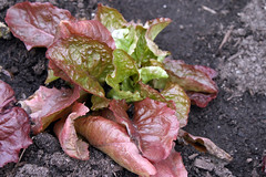 overwintered lettuce in cold frame 010