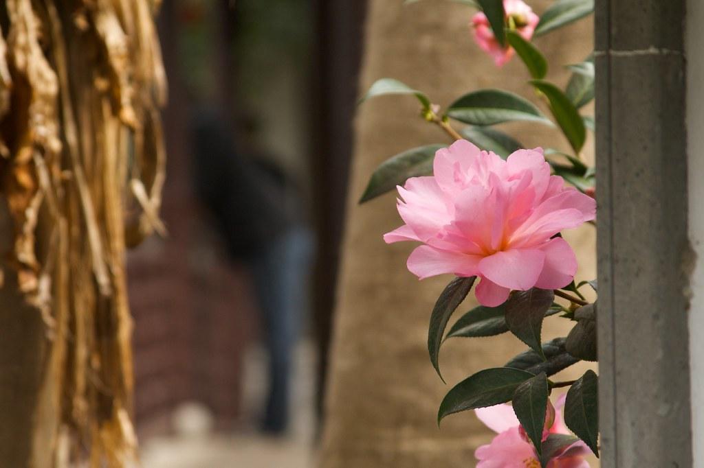pink camelia