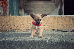 Abe (chrisglass) Tags: cincinnati pup abe prospecthill miltons chorkie