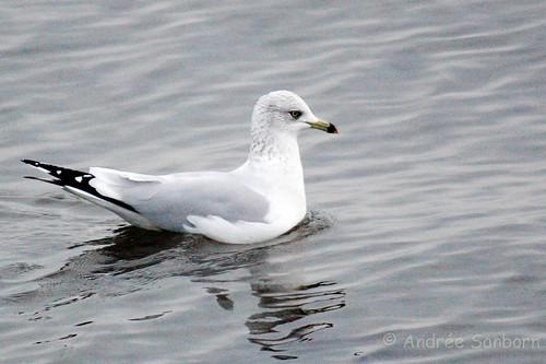 Ring-billed gull (Larus delawarensis)-16.jpg