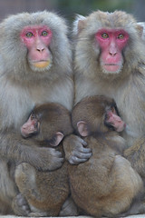 Sisters and Cousins (Masashi Mochida) Tags: baby monkey sister cousin awaji naturesfinest coth supershot opposti abigfave impressedbeauty natureselegantshots