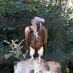 King vulture (Sarcoramphus papa) thumbnail