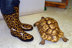 Tan And Black  (300/365) (Happy_Peasant) Tags: agate boots tortoise maplesyrupfestival leopardtortoise northparkvillagenaturecenter porject365 chicagoturtleclub p18205711