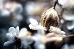Ritorno (il mio) (biosamu) Tags: stilllife macro closeup dof bokeh fiore petali naturamorta fiorisecchi