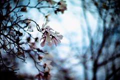 Fragile blooms of magnolia are stepping out, into sunlight (moaan) Tags: life leica sky digital 50mm dof blossom bokeh f10 utata magnolia noctilux blossoming m9 2011 ordinarylife hazysky inlife noctilux50mmf10 leicanoctilux50mmf10 comeintoblossom leicam9 firstmagnolia gettyimagesjapanq2