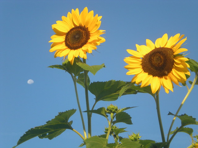 Sunflowers & Moon