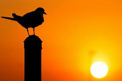 Tern Contemplating Sunset [Explored best position #325] (bmse) Tags: sunset 20d canon chica bolsa tern f4 salah 70200mm bmse baazizi