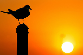 Tern Contemplating Sunset [Explored best position #325]