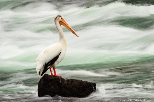 Pelican at LeHardy Rapids