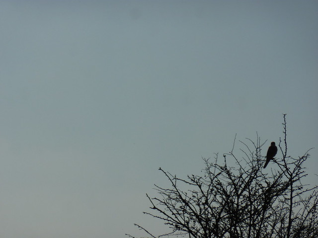 Red Kite in a tree