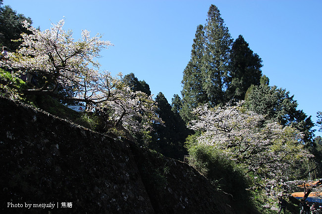 2011阿里山櫻花季晴天版10