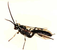 11 mm female ichneumon (ophis) Tags: hymenoptera parasitica ichneumonoidea ichneumonidae ichneumoninae heresiarchini protichneumonina coelichneumon coelichneumonazotus ichneumon