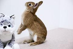 ICHIGO san  (mensore) Tags: rabbit bunny netherlanddwarf brown cute pet family ichigo