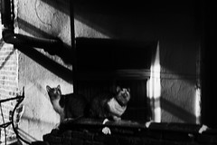 Stargazing Cats (Father Tentacle) Tags: cats blackandwhite blackwhite felines bw urban building noir stargazing