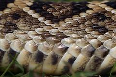 Snake In the Grass - Ask Eve! (TuthFaree) Tags: 6ws elements snake rattlesnake diamond grass georgia ga swga hmm macromonday handlewithcare