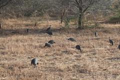 IMG_4834 (opnielsen) Tags: tanzania 2016 selous game reserve bird guinea fowl guineafowl helmeted