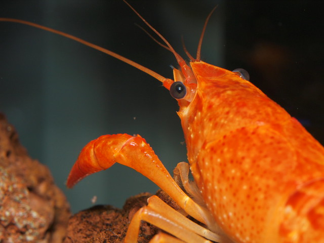 P3235020 橘螯蝦