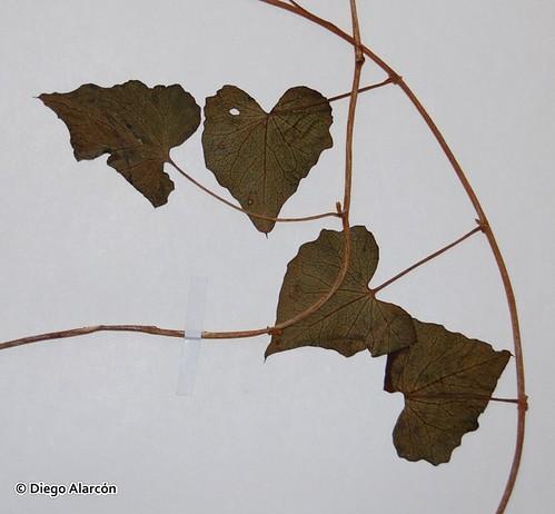 Detalle de las hojas de (<i>Calystegia tuguriorum</i>) de una muestra del Herbario de la Universidad de Concepción.