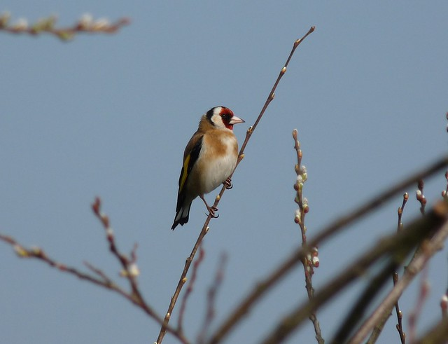 24057 - Goldfinch, Sandy Water Park, Llanelli