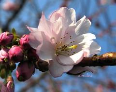 Blossom and blue Sky (abrideu away on Holiday) Tags: macro canon spring blossom ngc explored raynoxdcr250 excellentsflowers natureselegantshots abrideu fleursetpaysages
