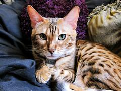 Maya Lee (heartinhawaii) Tags: cat bengal mayalee