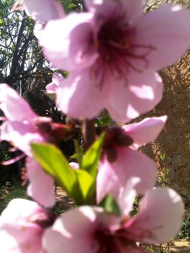 Prunus persica خوخ