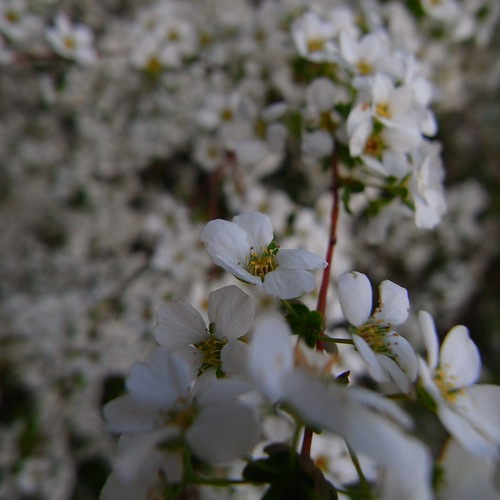 Thunberg's meadowsweet