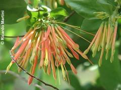 Tristerix corymbosus (Chilebosque) Tags: del loranthaceae lamo quintral tristerix corymbosus tristerixcorymbosus parsitas