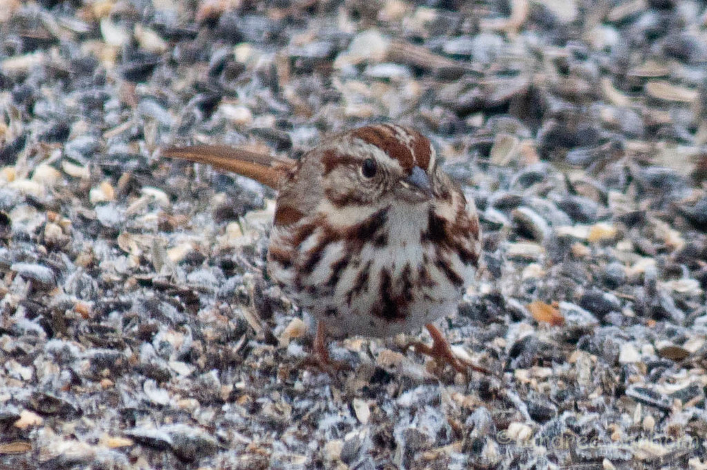 First Song Sparrow of Spring (Melospiza melodia) (6 of 6).jpg