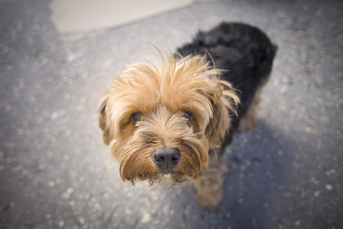 Norfolk Terrier in Brooklyn