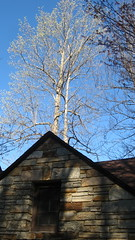 Buds in the trees behind the old bathhouse Photo