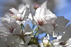 Pear Blossoms (raisinsawdust - (aka: tennphoto)) Tags: blue light white petals spring nikon tennessee blossoms stamens blooms f28 springflowers peartree 2011 d90 nikond90 ornamentaltree afmicro105mm